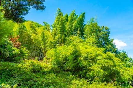Bamboo groves at Villa Carlotta at Tremezzo, Italy