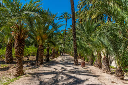 Palm groves at the palm museum of Elche, Spain