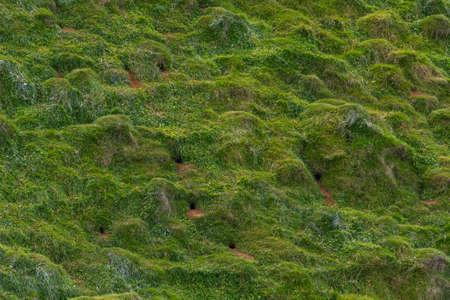 Puffins nesting at Heimaey island on Iceland 免版税图像 - 164900201