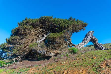 Wind bent juniper trees at El Sabinar at El Hierro island in Canary islands, Spain.