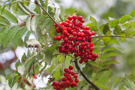 赤いナナカマドの枝に 写真素材 - 78458762