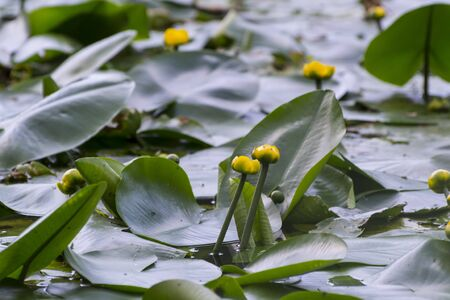 Flower pods yellow (Nuphar lutea) on a lake Stock Photo