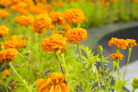 Marigolds in the flowerbed closeup Stock Photo