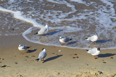 Seagulls on the shores of the Baltic Sea