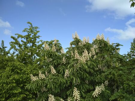 Chestnuts bloom against the sky in spring