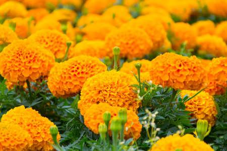 Marigolds on a flower bed Standard-Bild