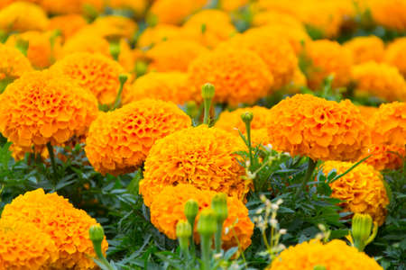 Marigolds on a flower bed Stock Photo