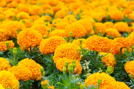 Marigolds on a flower bed
