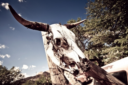 craneo de vaca: Vaca cr�neo con cuernos que se encuentran en Arizona, EE.UU.
