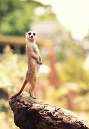 lookout: Meerkat (Surikate) found in Melbourne Zoo, Australia