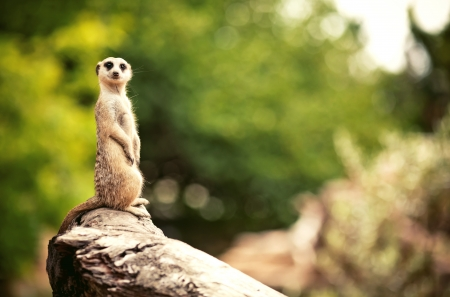 upright: Meerkat (Surikate) found in Melbourne Zoo, Australia