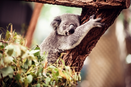 koala bear: Koala Bear relaxing on Australian Eucalyptus tree Stock Photo