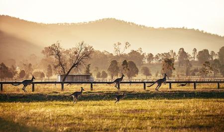 Groep Australische kangoeroes in Hunter Valley, Australië