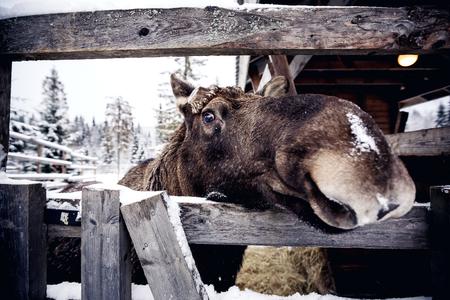 Elk dietro la recinzione di legno in Finlandia centrale Archivio Fotografico - 25680513