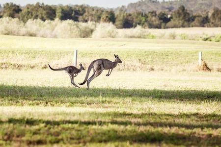 iconic: Group of australian kangaroos at Hunter Valley, Australia