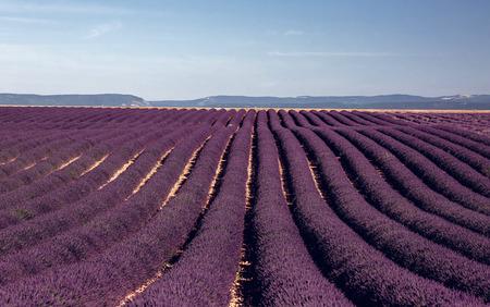 lavender field: Lavender flowers blooming field