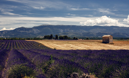 plateau of flowers: Lavender flowers blooming field, panoramic view. Plateau de Valensole in Provence, France