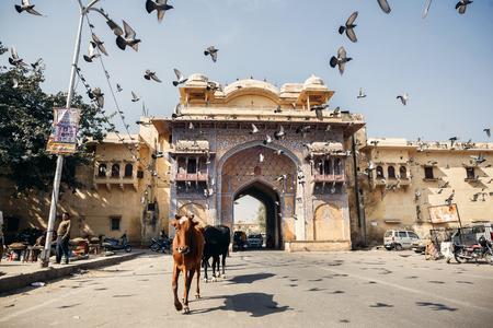 jaipur: JAIPUR, INDIA - JANUARY 10, 2015: Cows and birds on street on January 10, 2015 in Jaipur, India Editorial