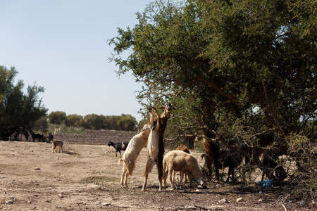 argan: The incredible tree-climbing goats of Agadir, Morocco