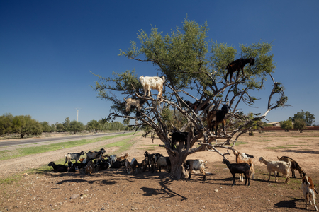 The incredible tree-climbing goats of Agadir, Morocco