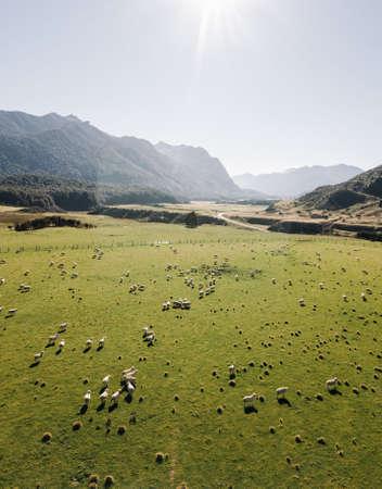 Sheep in green grass field in rural of New Zealand Standard-Bild