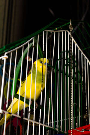 Yellow-green little parrot in a cage Banco de Imagens