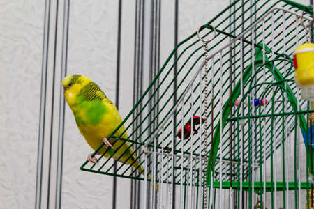 Yellow-green little parrot on a cage Banco de Imagens