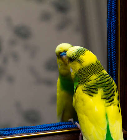 Yellow-green little parrot. Looks in the mirror.