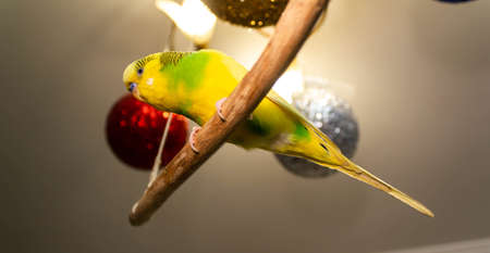 Yellow-green little parrot hanging on a stick