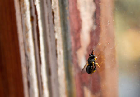 Young black wasp on glass 写真素材