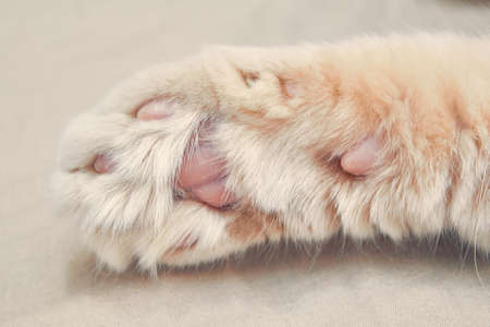 Ginger cat in front with pink paws. close up