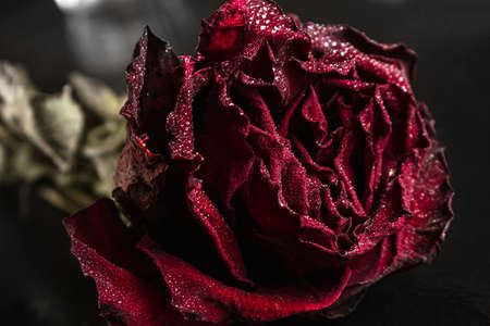 dried red rose with drops on a black background. close up. copy space, side view horizontal orientation