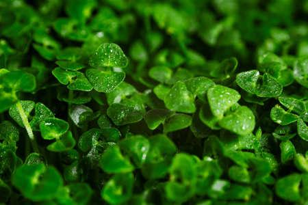 green chia sprouts macro background Foto de archivo