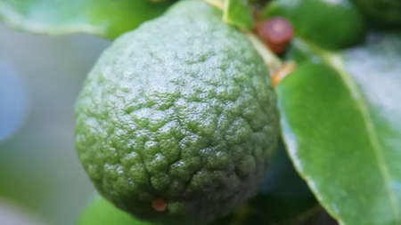 fresh fruit Kaffir lime with leaf