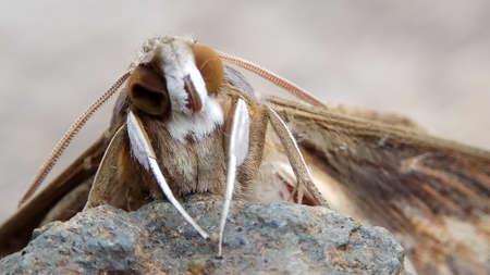 Close up of Genus Xyleutes in nature