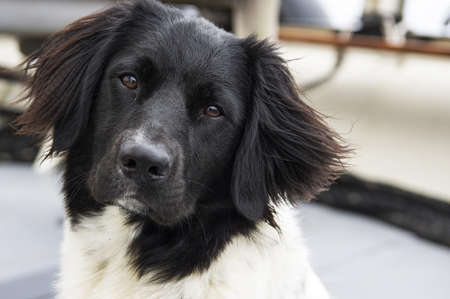 pure bred: young curious pedigree dog