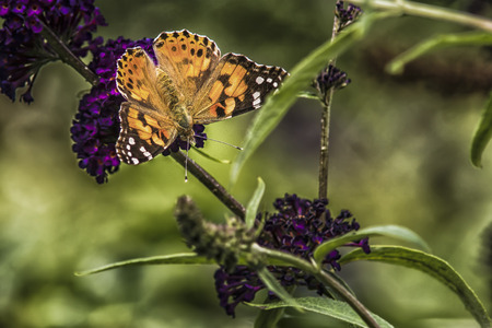 painted lady on the purple flower of a butterfly-bush