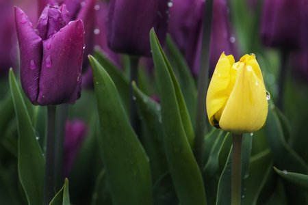 purple and yellow tulips with green leaves and drops of water