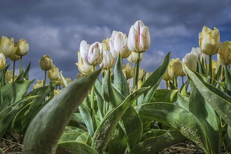 white and yellow tulips with blue sky in the background Standard-Bild