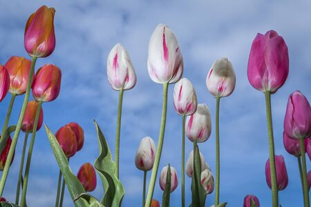 tulips with blue sky in the bacground
