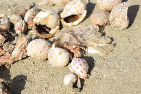 hermit crabs: Big hermit crabs