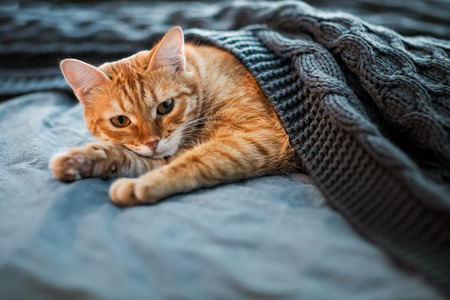 Red cat sleeps under a gray knitted plaid Stock Photo