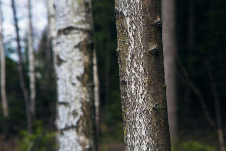 tree detail: white brown green tree material structure, forest detail