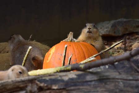 Prairie Dog holding a Pumpkin