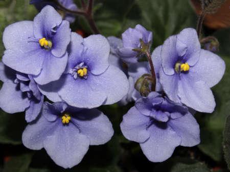 blue violet: Blue violet Stock Photo