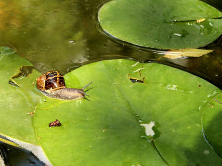freshwater snails: Snail forcing waterlily leaf