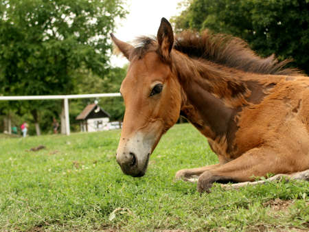 Young horse is relaxing, taken at the stable in Serbia