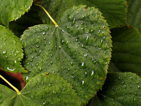 Water drops on the linden leaf, taken in the park in Serbia Stock Photo