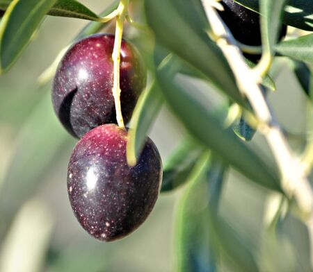 Olive Country Stock Photo - 9476432
