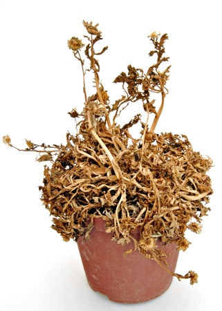 wilted: Pot with dried plant, surrounded by white